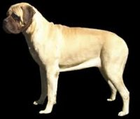 Ironways mastiffs.jpg