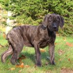 Italian Mastiffs 101: Everything You Need to Know